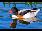 Shelduck by KeldBach