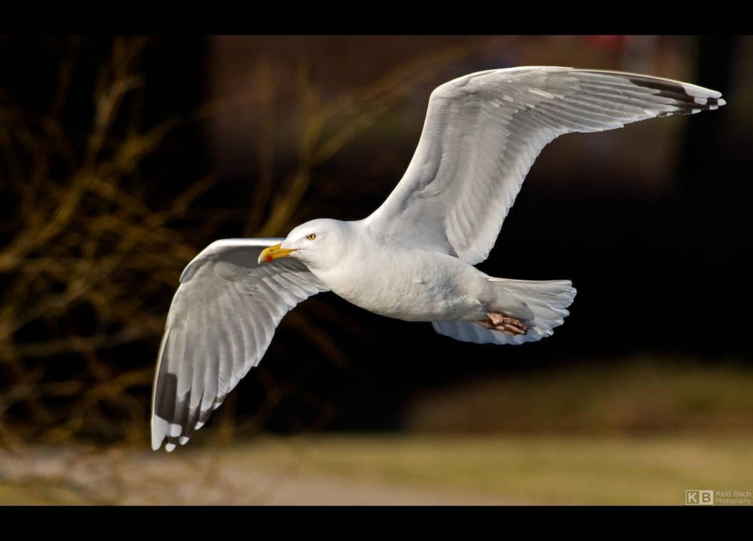 Herring Gull by KeldBach