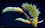 Spring Bud by KeldBach
