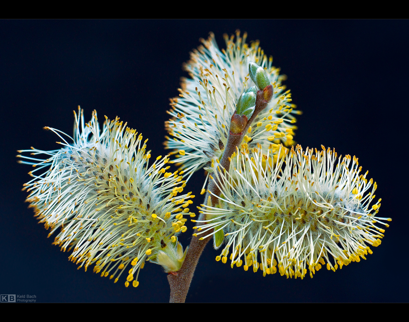 Blooming Catkins by KeldBach