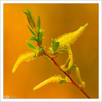 Golden Catkins by KeldBach
