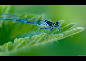 Damsel Fly by KeldBach