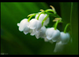 Lily of the Valley by KeldBach
