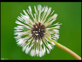 Wet Dandelion by KeldBach