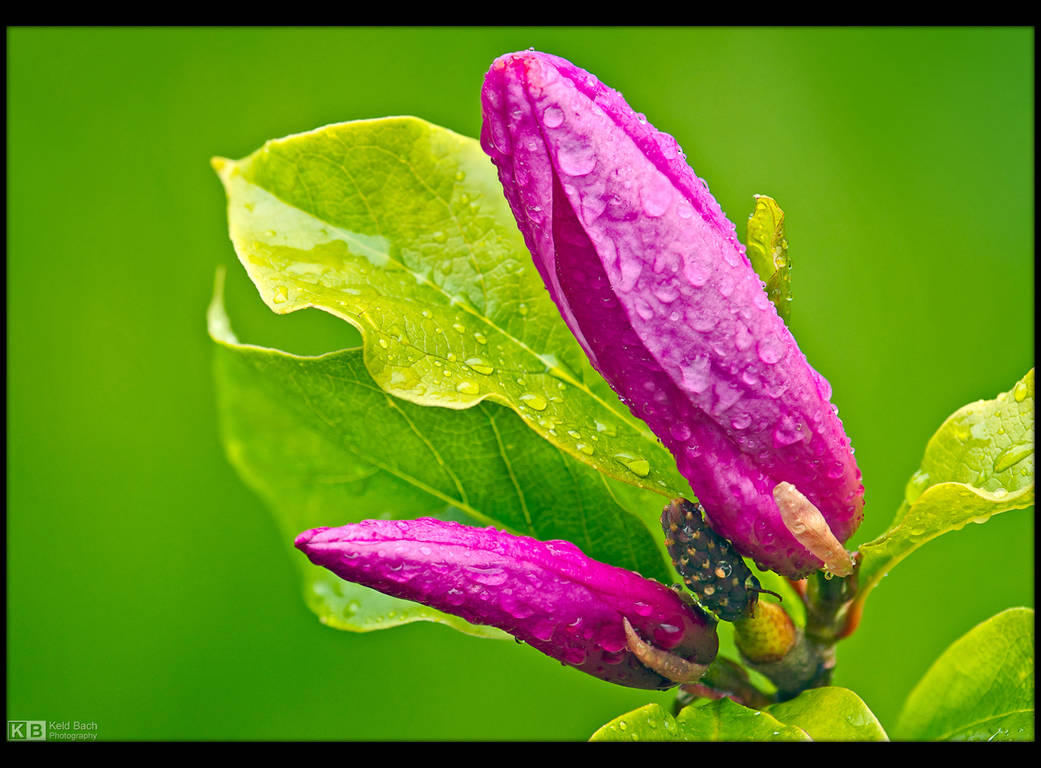 Purple Magnolia by KeldBach