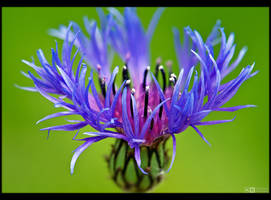 Cornflower Revisited by KeldBach
