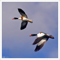 Shelducks in Flight by KeldBach