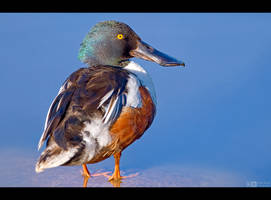 Meet the Shoveler by KeldBach