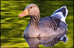 Greylag Goose Up Close