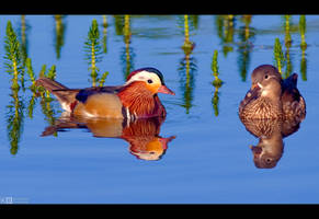 Pair of Mandarins by KeldBach