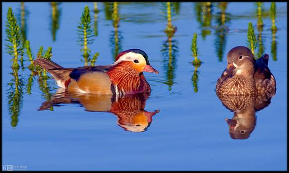 Pair of Mandarins