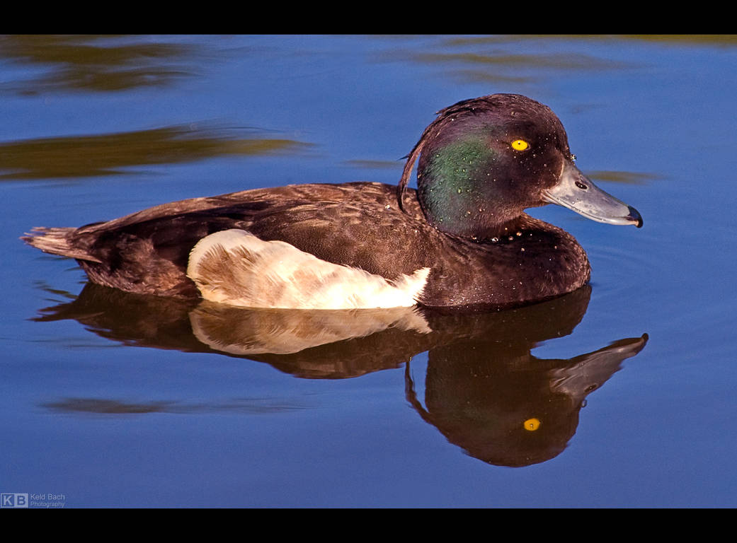 Tufted Duck by KeldBach
