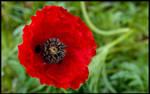 Late Poppy