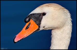 Swan Up Close