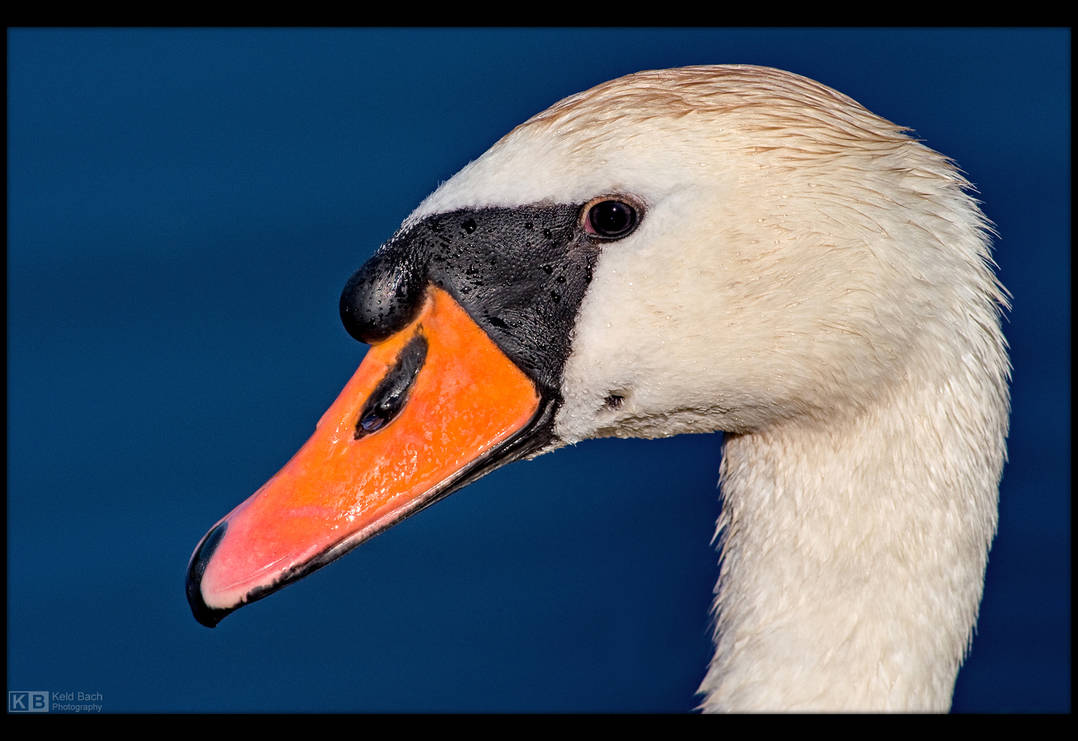 Swan Up Close by KeldBach