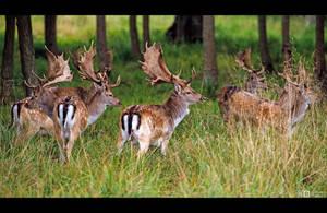 Fallow Deer Bucks by KeldBach