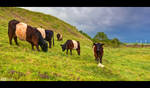 Galloway Cattle by KeldBach