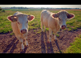 Charolais Cattle by KeldBach