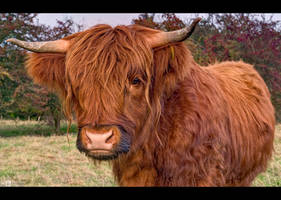Highlander Bull Up Close by KeldBach