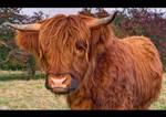 Highlander Bull Up Close by KeldBach