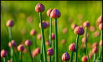 Chives Galore