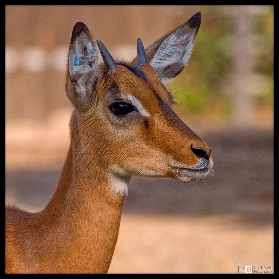 Male Impala Portrait by KeldBach
