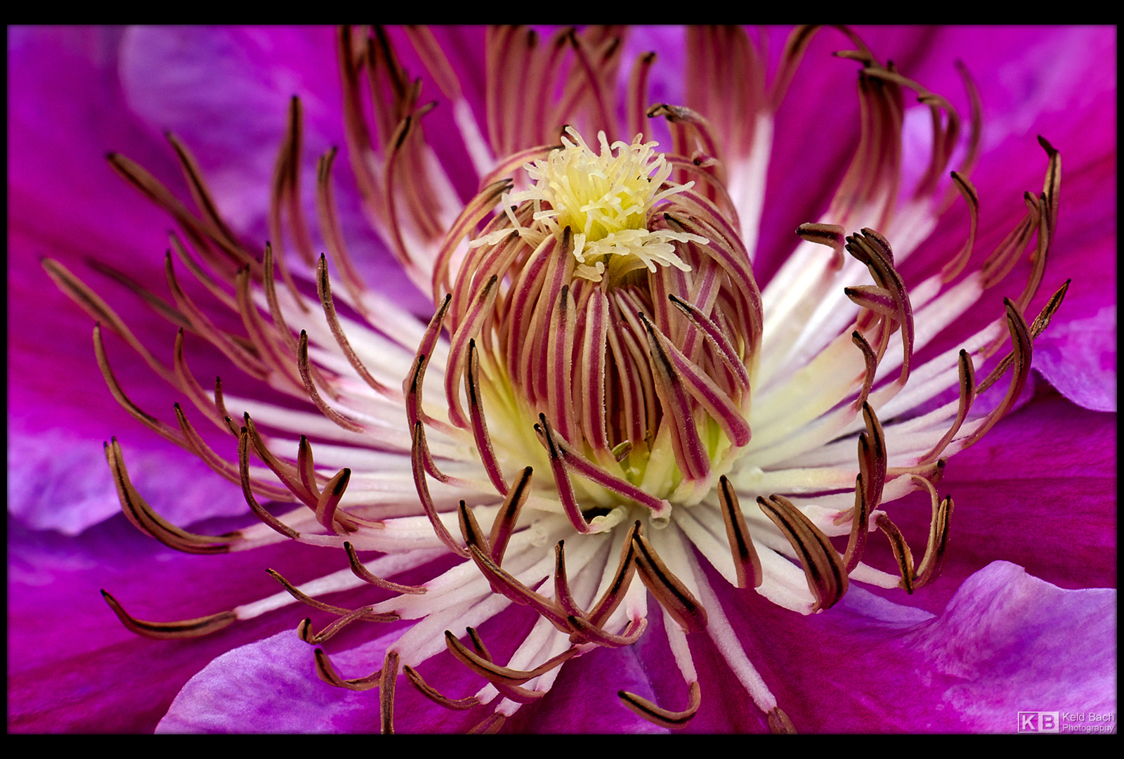 Saint George's Clematis by KeldBach