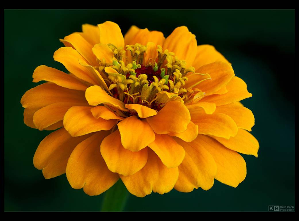 Yellow Zinnia by KeldBach