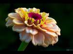 Creamy Zinnia by KeldBach