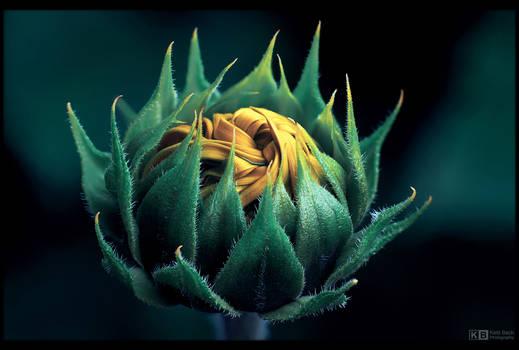 Sunflower Knot