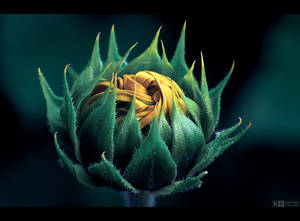 Sunflower Knot by KeldBach