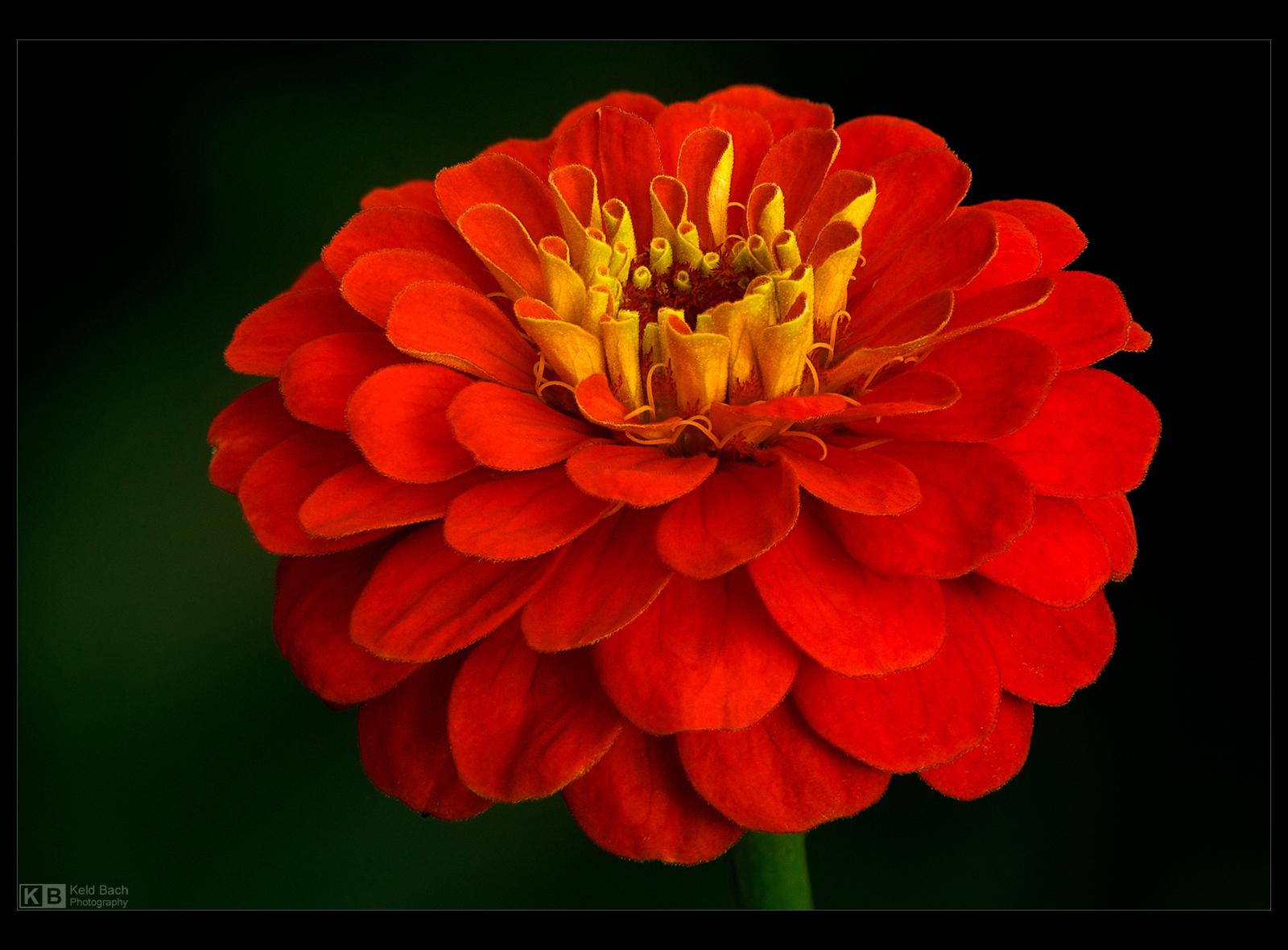 Crimson Zinnia by KeldBach
