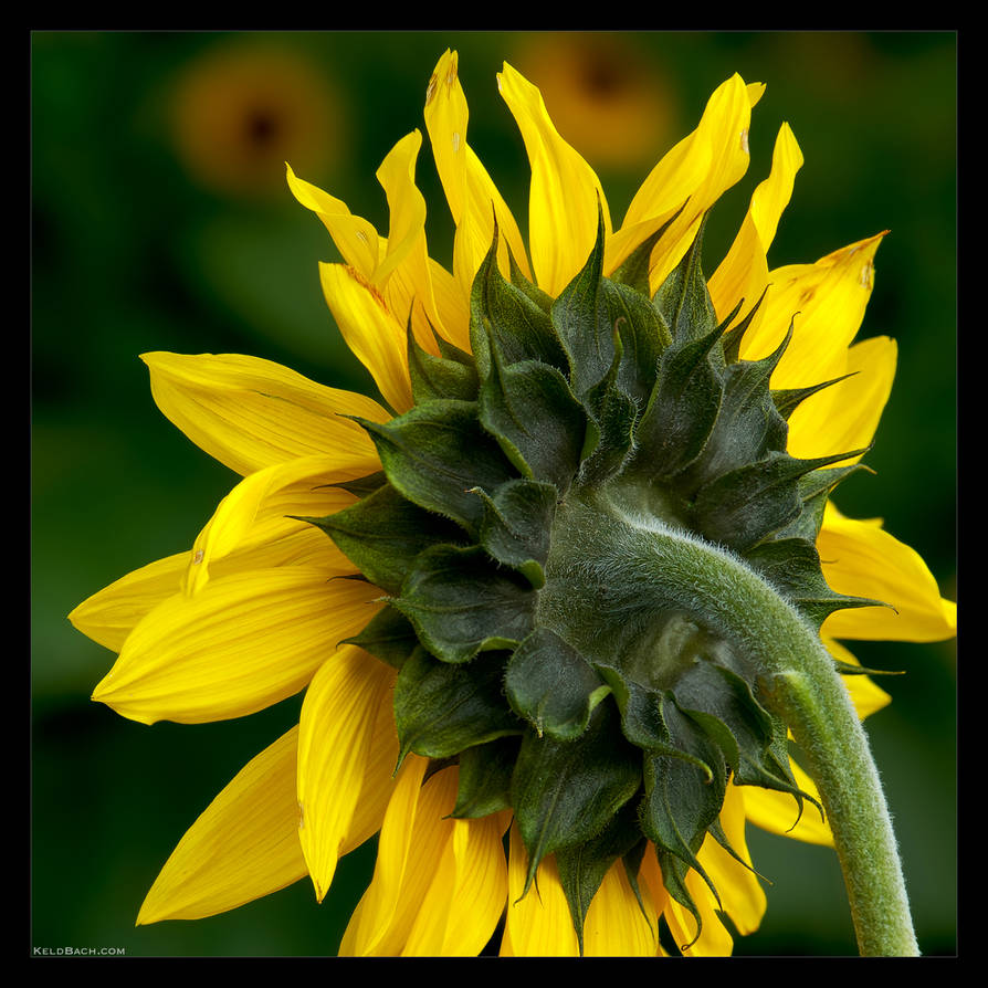 Sunflower Study by KeldBach