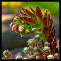 Cobweb Flower Buds by KeldBach