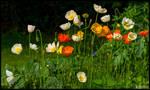 Siberian Poppies
