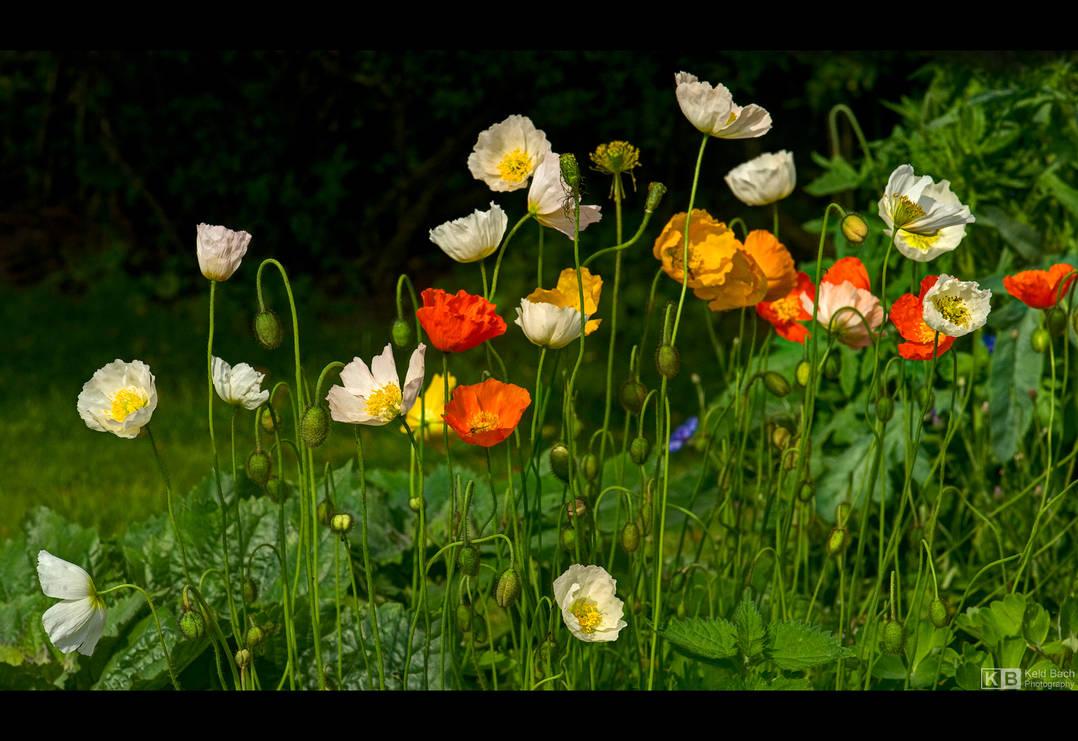 Siberian Poppies by KeldBach