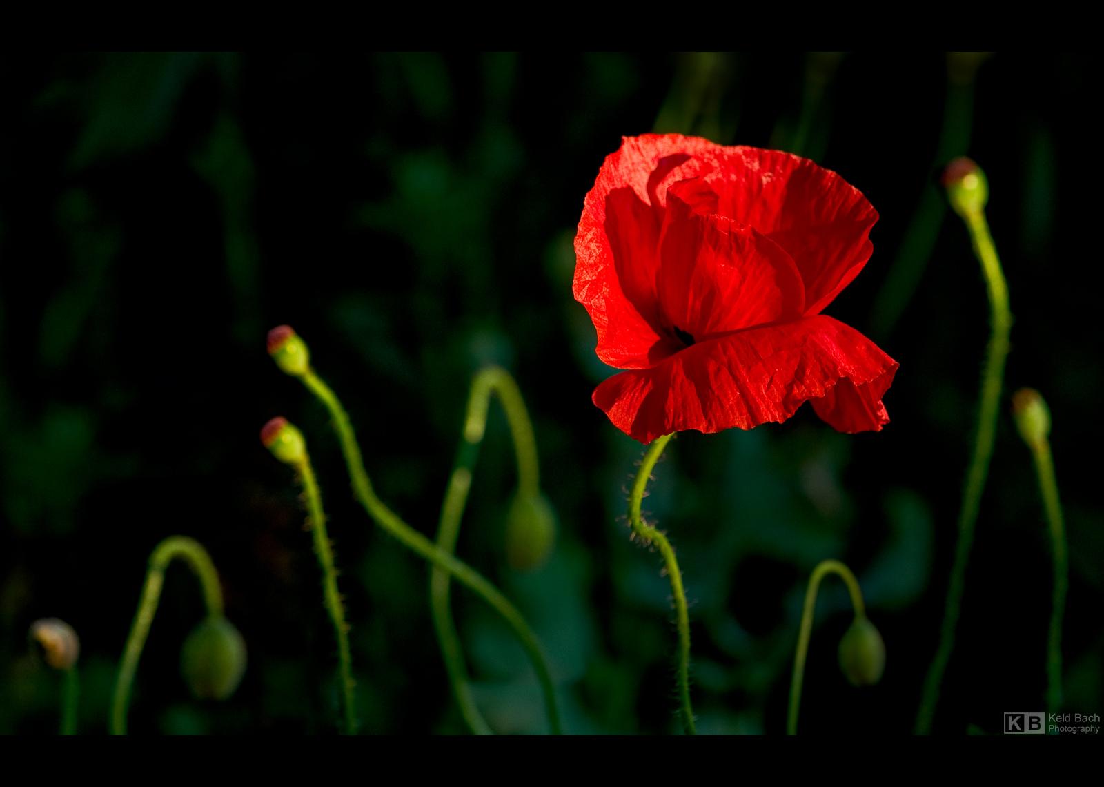 The Scarlet Pimpernel by KeldBach