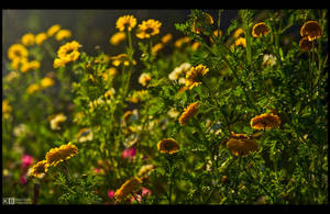 Marigold in the Golden Hour by KeldBach