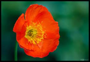 Poppy Portrait by KeldBach