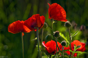 Blooming Giant Poppies