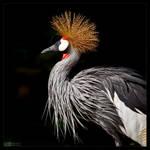 East African Crowned Crane by KeldBach