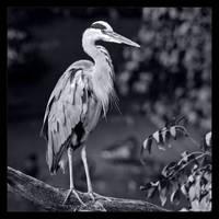 Grey Heron in B/W by KeldBach