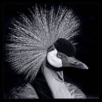 Crowned Crane in B/W by KeldBach