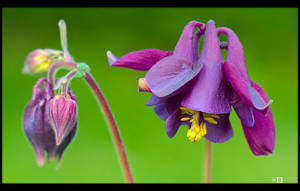 Purple Columbine by KeldBach