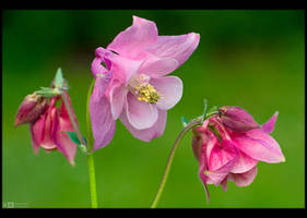 Pinkish Columbine by KeldBach