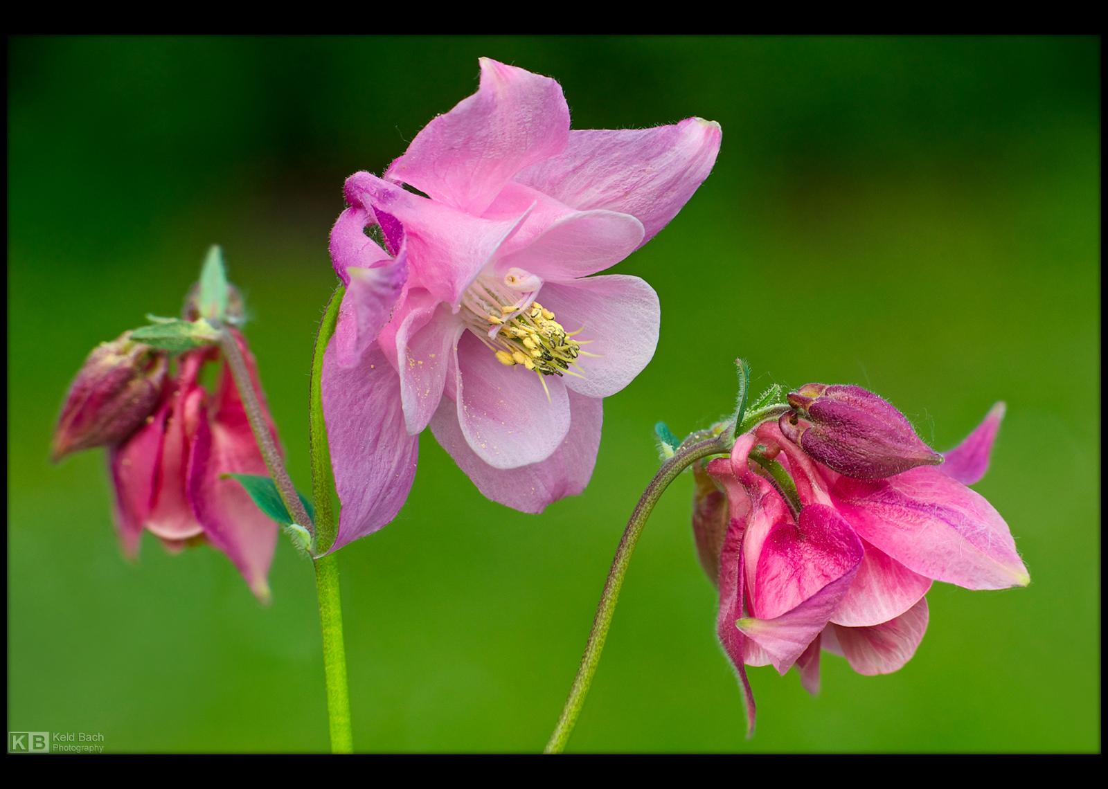 Pinkish Columbine by KeldBach