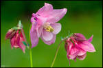 Pinkish Columbine