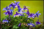 Peak Time for Columbines