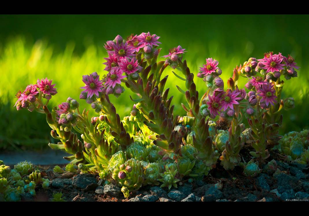 Cobweb Blooms ad Libitum by KeldBach