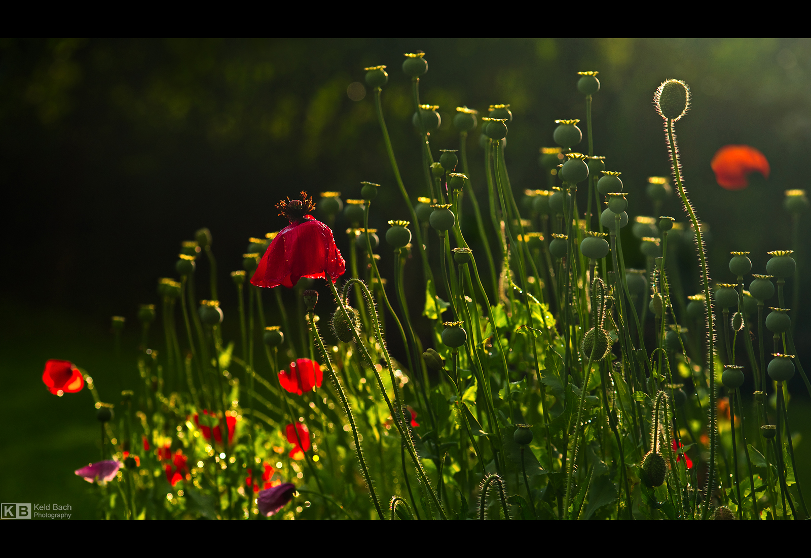 Wet Poppies by KeldBach